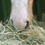 HORSE_EATING_HAY