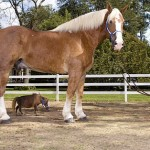 grootste en kleinste paard